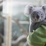 Kiselefánt, kölyökzsiráf és koala vezeti az Állatkert örökbefogadási listáját