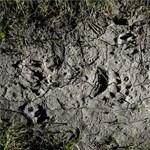 Medveszerű lényt láttak a Bakonyban