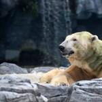 Zöldült a jegesmedve szőre az algásodástól