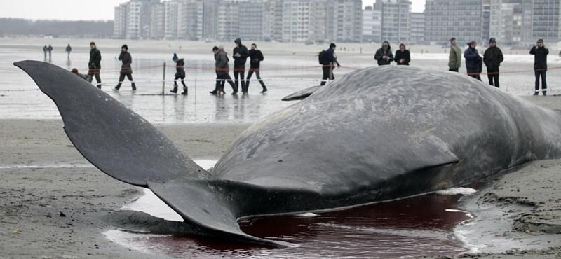 Fotók: 13 méteres bálna vetődött a partra Belgiumban
