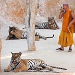 Elviszik a nagymacskákat a híres thaiföldi Tigris Templomból