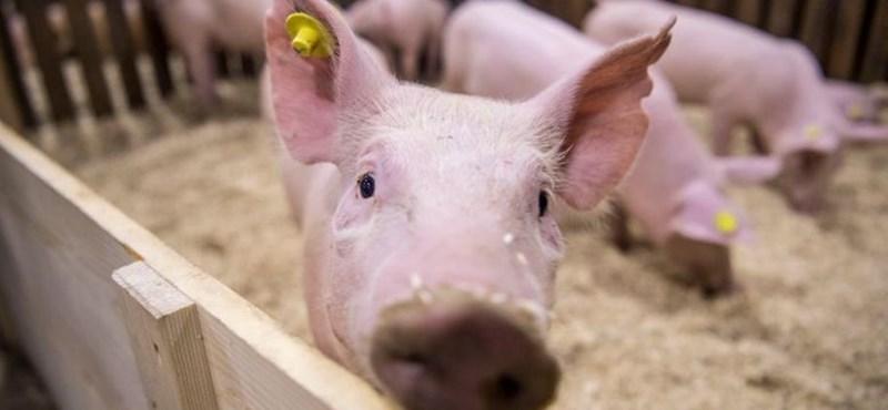 Tovább tarol Romániában a sertéspestis