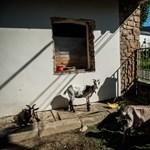 Még a bürokráciában botorkálnak a pilisborosjenői kecskék