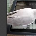 Ez nem mindennapi: papagáj zongorázik az iPaden [videóval]