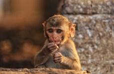 Ne szelfizzenek majmokkal! – kérik az állatvédők a tudósokat