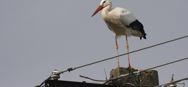 Eltalálja, miért marad itt egyre több gólya télen?