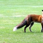 Mint egy filmben: összefogtak a tyúkok, hogy megöljenek egy rókát