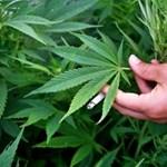 Óriási sikertörténet a tőzsdén a legális marihuána