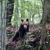 Kilőttek egy veszélyes medvét Tusnádfürdőn