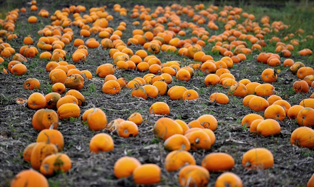 afp. hét képei - Lydiate, Egyesült Királyság, 2014.10.14. Pumpkins are pictured in a farmer's field in Lydiate, near Liverpool, north-west England on October, 14, 2014, as they are prepared for sale in the weeks leading up to the celebration of Halloween.