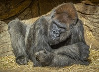 Antitest-terápia segíthetett egy koronavírusos gorillának