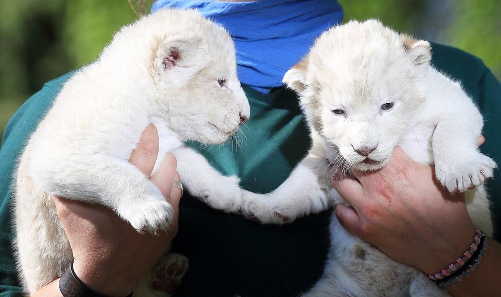 epa.16.05.06. - Magdeburg, Németország: Fehér oroszlán - Két fehér nőstény oroszlánkölyköt mutatnak meg a sajtó képviselőinek a magdeburgi állatkertben