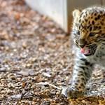 Előbújtak a bécsi állatkert leopárdkölykei és megolvasztották az internetet – fotók