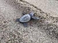 Elkezdtek kikelni a teknőcbébik az olasz strandokon – videó