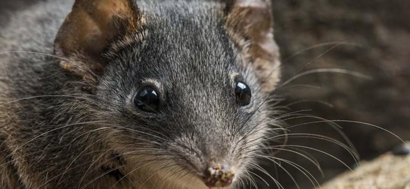 El año pasado, se encontraron 21 ejemplares de bolsos que se creían extintos en Australia.