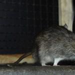 Fidesz: nem is volt patkány a Péterfy Kórház műtőjében