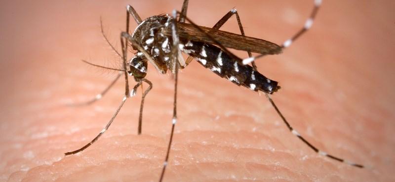 Magyarországon is megjelent a szúnyogfajta, amelyik legalább 22 féle vírust terjeszt
