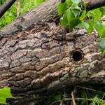 Fiókák a kivágott fán: a madárvédők szerint eljárást kéne indítani