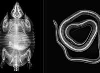 Ritkán látható képek: röntgengépbe tették a kígyót, békát, teknőst