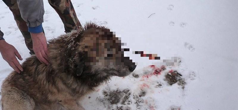 18+ fotók: Nyíllal lőttek fejbe egy kutyát Isaszegen