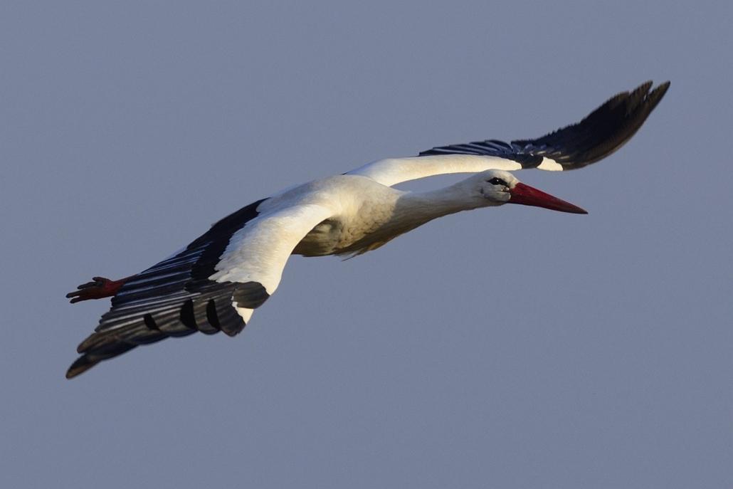 mti. gólya, Visszatérnek a gólyák, 2015.03.10. A visszatért fehér gólyák egyike (Ciconia ciconia) Görbeháza közelében 2015. március 10-én. A helybéliek az elmúlt napokban vették észre, hogy visszatértek a madarak.
