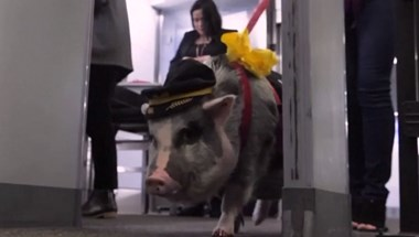 Terápiás malac nyugtatja az utasokat a San Franciscó-i repülőtéren