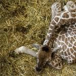Milyen hangot ad ki a zsiráf? Most már ezt is lehet tudni