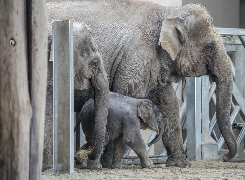 e_! - hvg év képei 2017 nagyítás - tg.17.11.20. - A Fővárosi Állat- és Növénykertben 2017. november 8-án született ázsiai elefánt-bikaborja anyjával november 20-án. Az elefánt szavazás után az Arun nevet kapta.