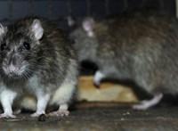 Patkányokkal teli csatornába zuhant egy férfi New Yorkban
