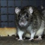 Tarlós szerint tavaly óta a patkányok kétharmadát kiirtották