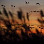 A nap képe: madarak érkeznek Európa legnagyobb darugyülekező helyére, a Hortobágyra