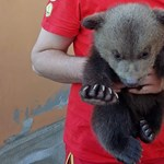 Nyüszítő, magányos medvebocsot mentettek meg egy turistaúton Székelyföldön