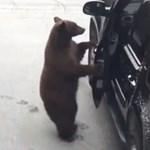 Kaliforniában már autókra fáj a medvék foga - videó