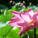 Különleges virág nyílik a szegedi füvészkertben, meg is ünneplik – fotó