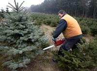 Jól megdrágul a karácsonyfa idén