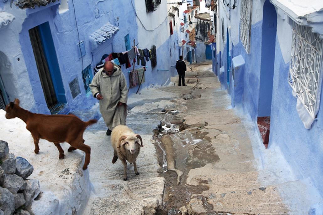 Berber férfi sétál a kecskéivel a Rif hegységbeli Chefchaouen különleges, kékre festett sikátoraiban.