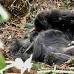 Szívszorító dolog derült ki a gorillákról – videó