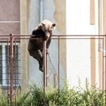 Megint medvék miatt kellett intézkedniük a csendőröknek Tusnádfürdőn