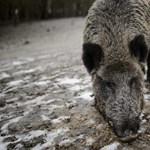 Nagykövet sérült meg egy vaddisznótámadásban – de nem úgy