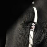 Kegyetlenség: Fegyver helyett ciánnal vadásznak elefántra a vadorzók