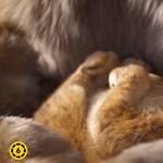 Már magyarul is nézhető az új oroszlánkirály előzetese – videó