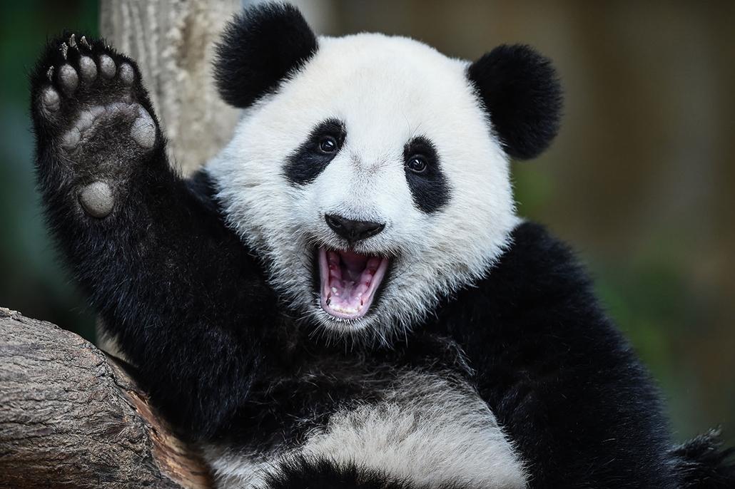 AFP - Nagyítás - Állati 2016 - 16.12.31. - Nuan Nuan az egyéves pandakölyök önfeledten örvendezik a maláj főváros állatkertjében taratott születésnapi partin.