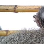 Tüneményes majomkölyök született a Fővárosi Állatkertben