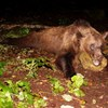 Újabb medvét lőttek ki Tusnádfürdőn