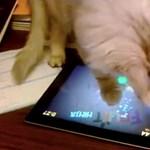 Játékos állatok 3: a macskáknak is jól megy a Fruit Ninja! [videó]