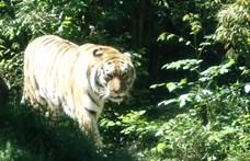 Meghalt Norbi, a Fővárosi Állatkert tigrise