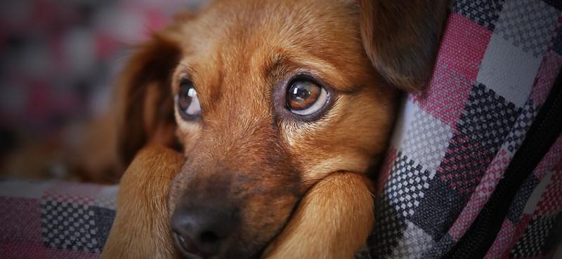 A Nébih szerint már a petárdázás előtt érdemes nyugtatót kérni az állatoknak