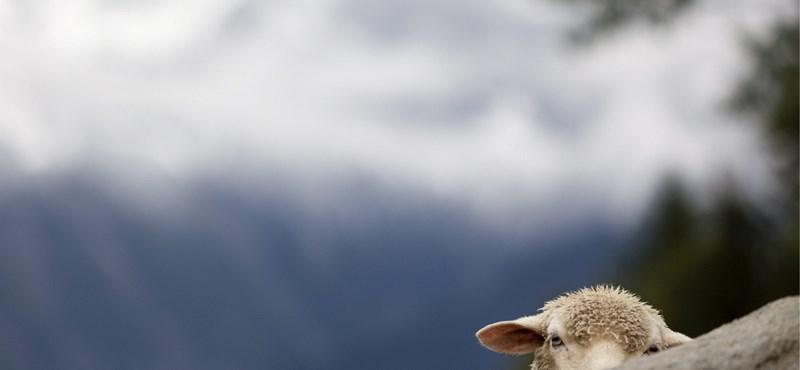 Deformált bárányok: használ a rejtélyes vírusnak a klímaváltozás