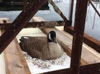 Már hungarocell-hulladékba fészkelnek a vadlibák Kanadában