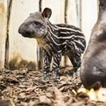 Jaguár és tapír felett is sétálhatunk majd Nyíregyházán
